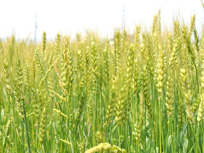 京小麦「せときらら」の小麦畑(久御山の栽培試験場)
